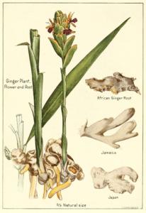 Dibujo planta Jengibre