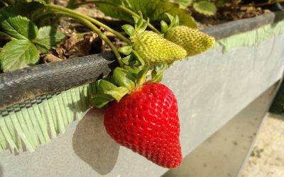 Plantar y cultivar fresas