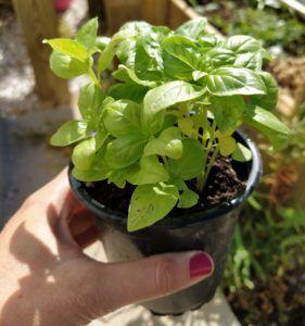 Planta aromática, Albahaca