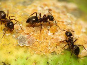 Hormigas y cochinilla algodonosa