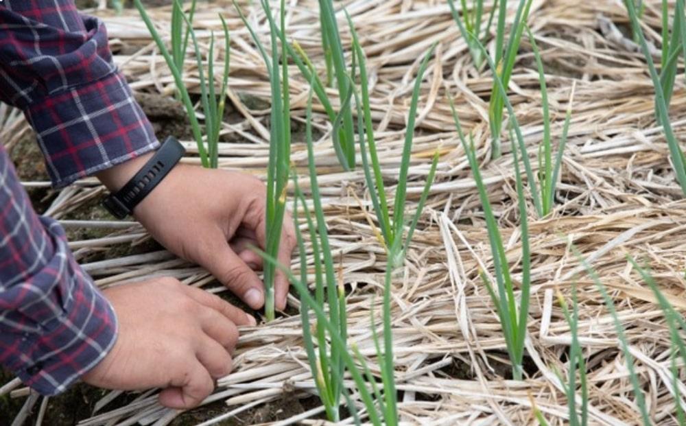 cultivar cebollas y plantar todo el año