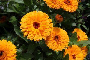 Flores comestibles caléndula