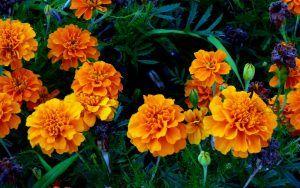Flores comestibles tajete