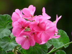 Flores comestibles geranio