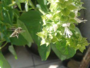 Flores comestibles albahaca