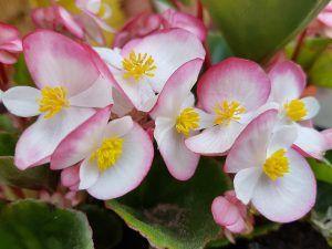 Flores comestibles begonia